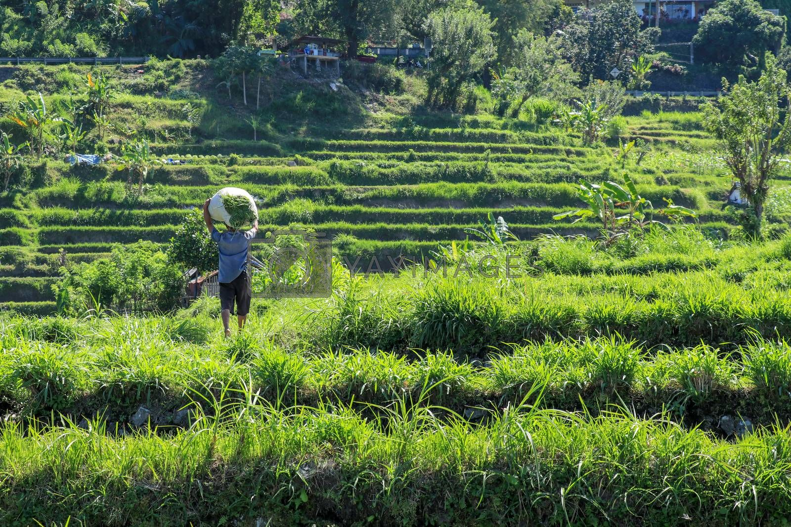 Bali, Indonesia - December 2019: Balinese man with a naked torso carries a stack of grass on his head. The hard life of the poor people of Bali. Hard-working Bali local people.