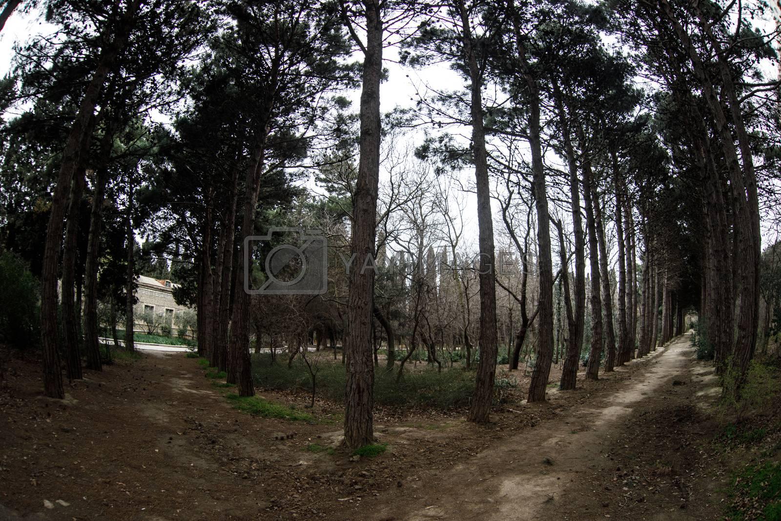 Fisheye view of dense pine tree forest looking up. Cloudy weather. Early spring time. Baku, Botanical garden. Azerbaijan
