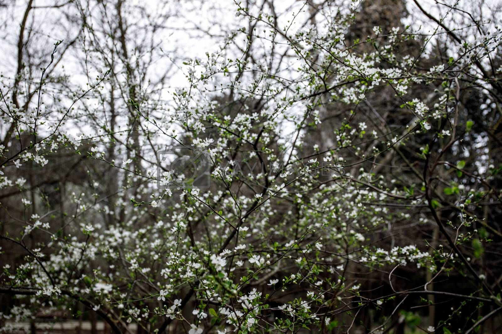 White small flowers on tree in spring time. closeup image. Selective focus