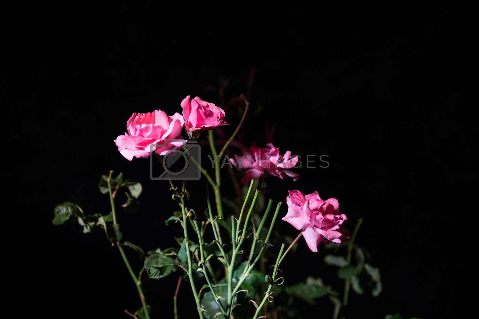 Couple of pink roses isolated on black background. Selective focus