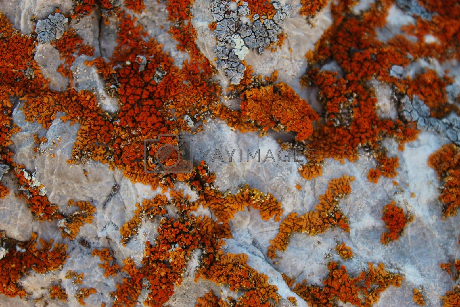 Many small colonies of orange lichen on the stone. On the mountain Bjelasnica, Bosnia and Herzegovina.