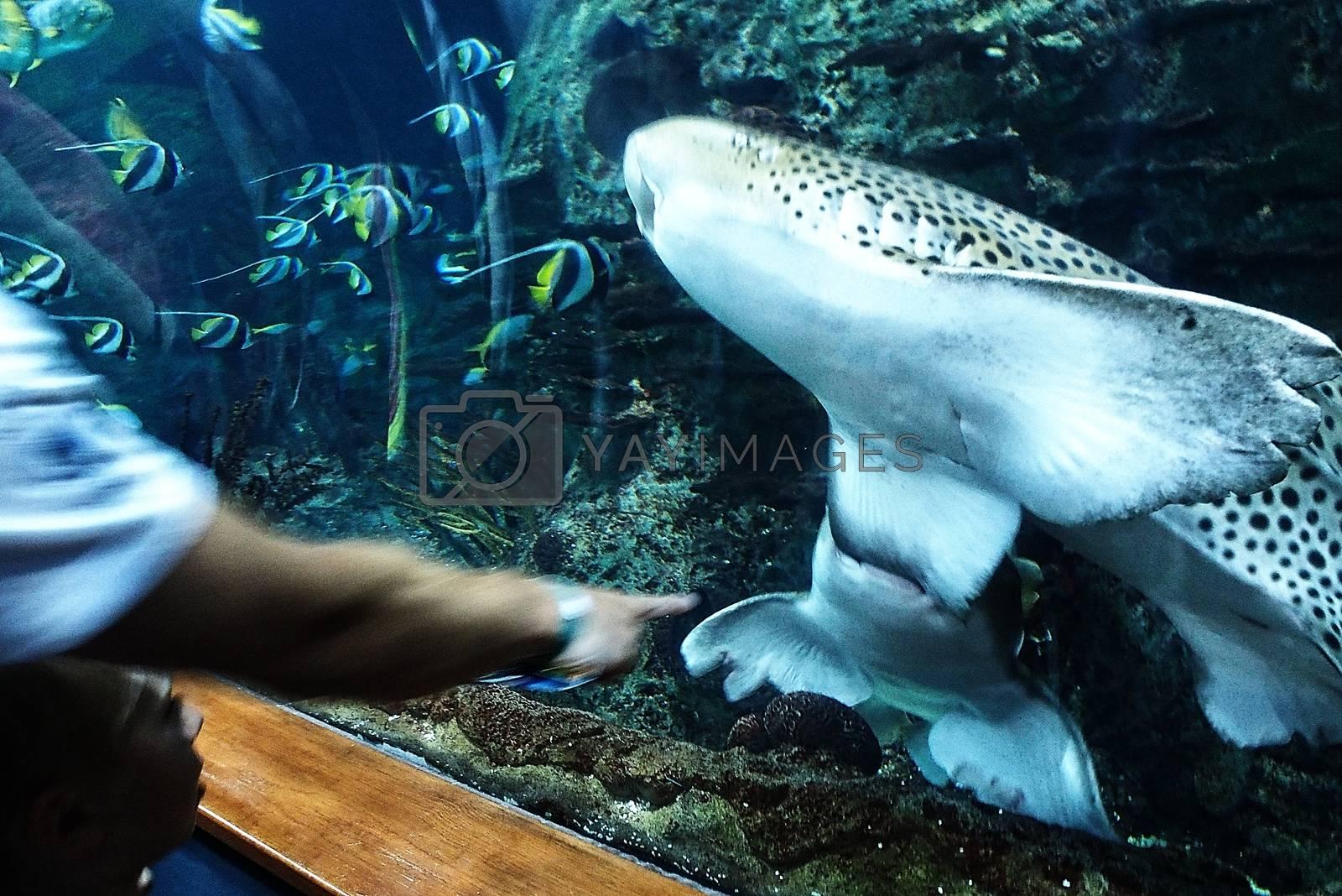 Predatory sharks swimming in a large aquarium at the Tenerife Zoo in Spain