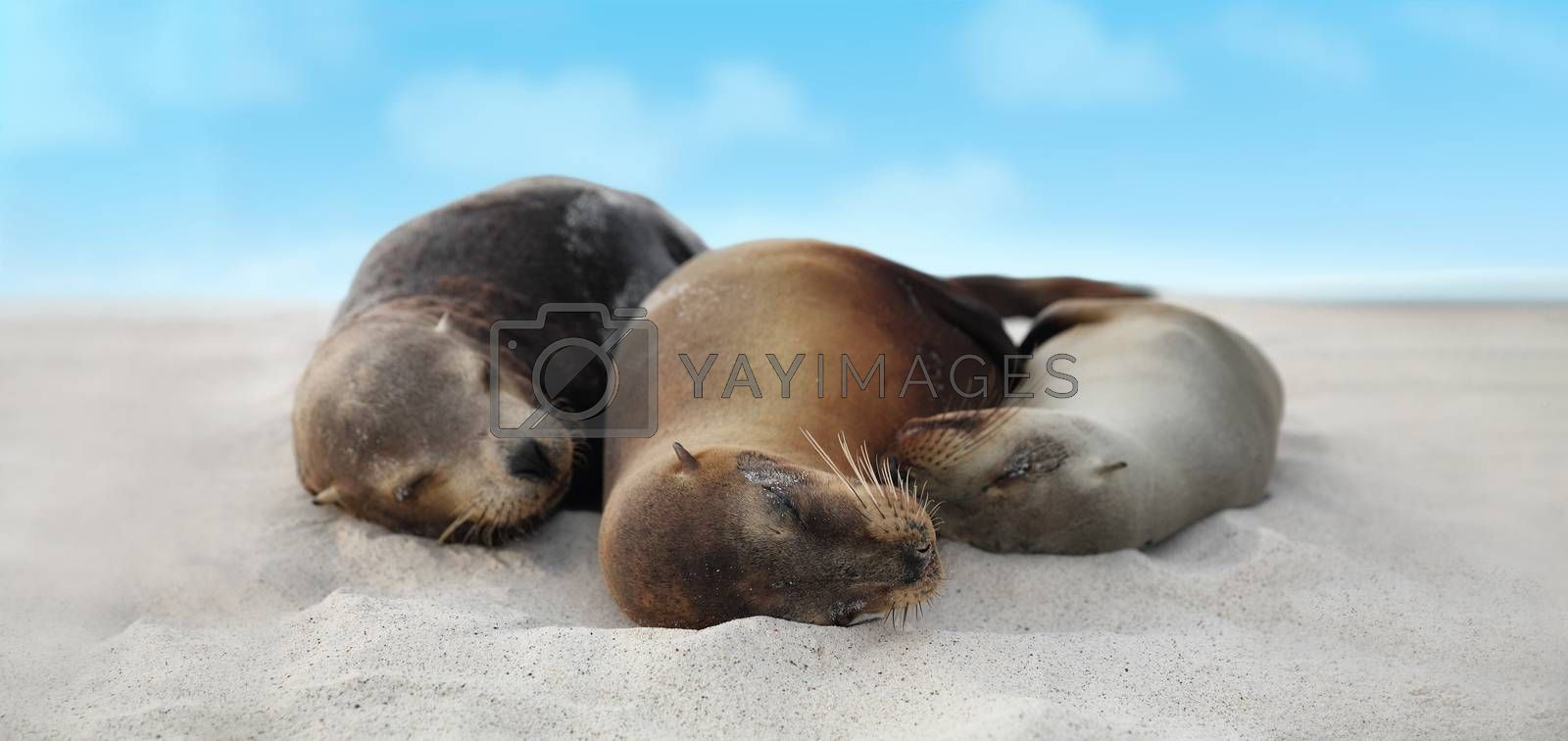 Sea Lion Family in sand lying on beach on Galapagos Islands - Cute adorable Animals. Animal and wildlife nature on Galapagos, Ecuador, South America.