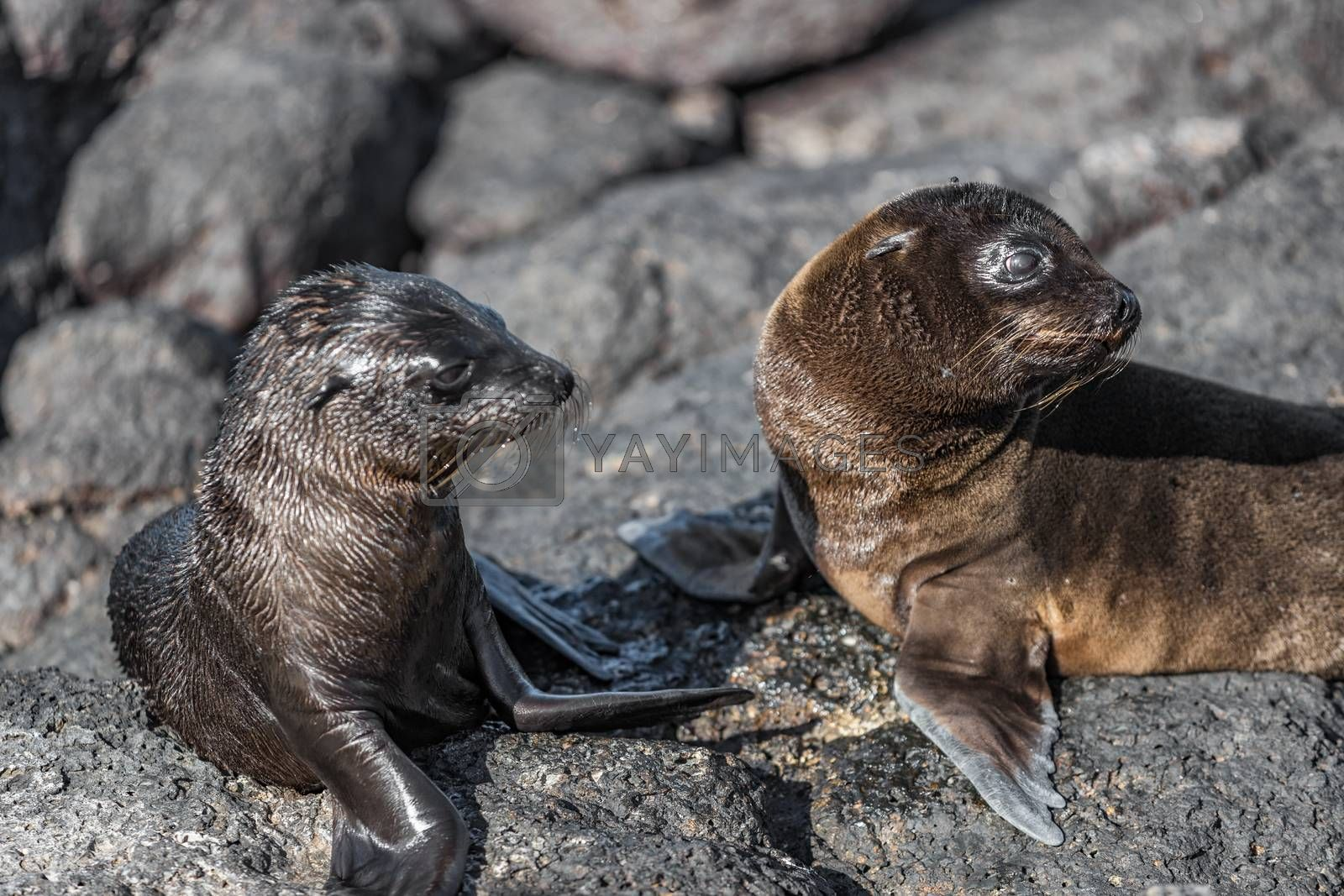 Galapagos animals - Baby Galapagos Sea lions pups at Punta Espinoza, Fernandina Island, Galapagos Islands. Amazing wildlife and nature display with many endemic species.