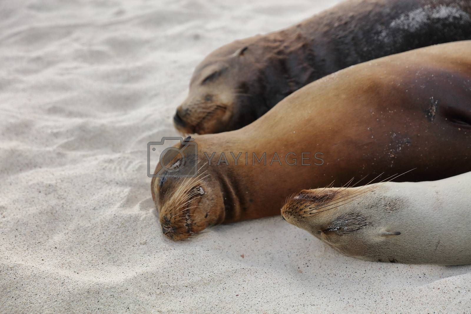 Sea Lions lying in sand on beach on Galapagos Islands resting sleeping - Cute adorable Animals. Animal and wildlife nature on Galapagos, Ecuador, South America. Family of Sea lions.
