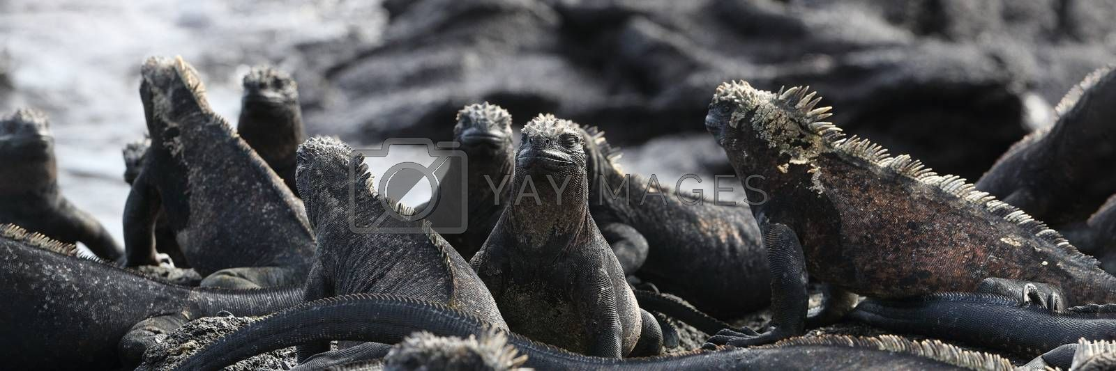 Animals. Galapagos Marine Iguana - Iguanas warming in the sun on volcanic rocks on Fernandina Island, Espinoza Point. Amazing wildlife animals on Galapagos Islands, Ecuador.