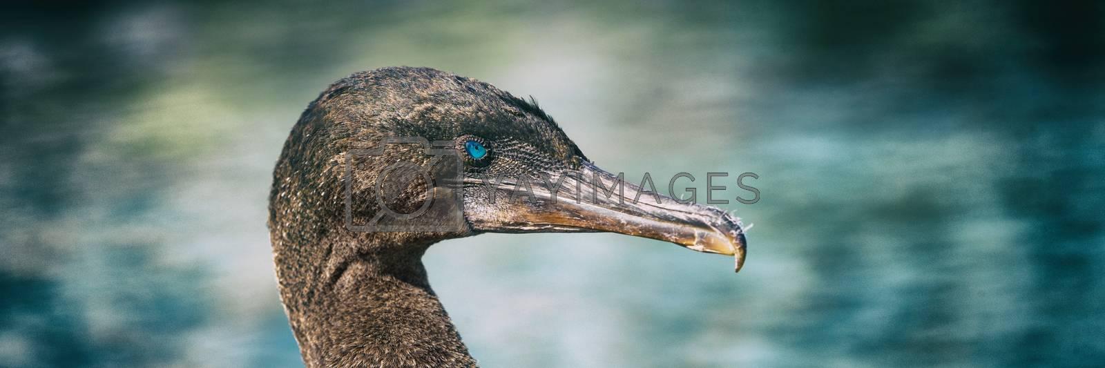 Royalty free image of Galapagos animals wildlife - bird flightless cormorant aka galapagos cormorants by Maridav