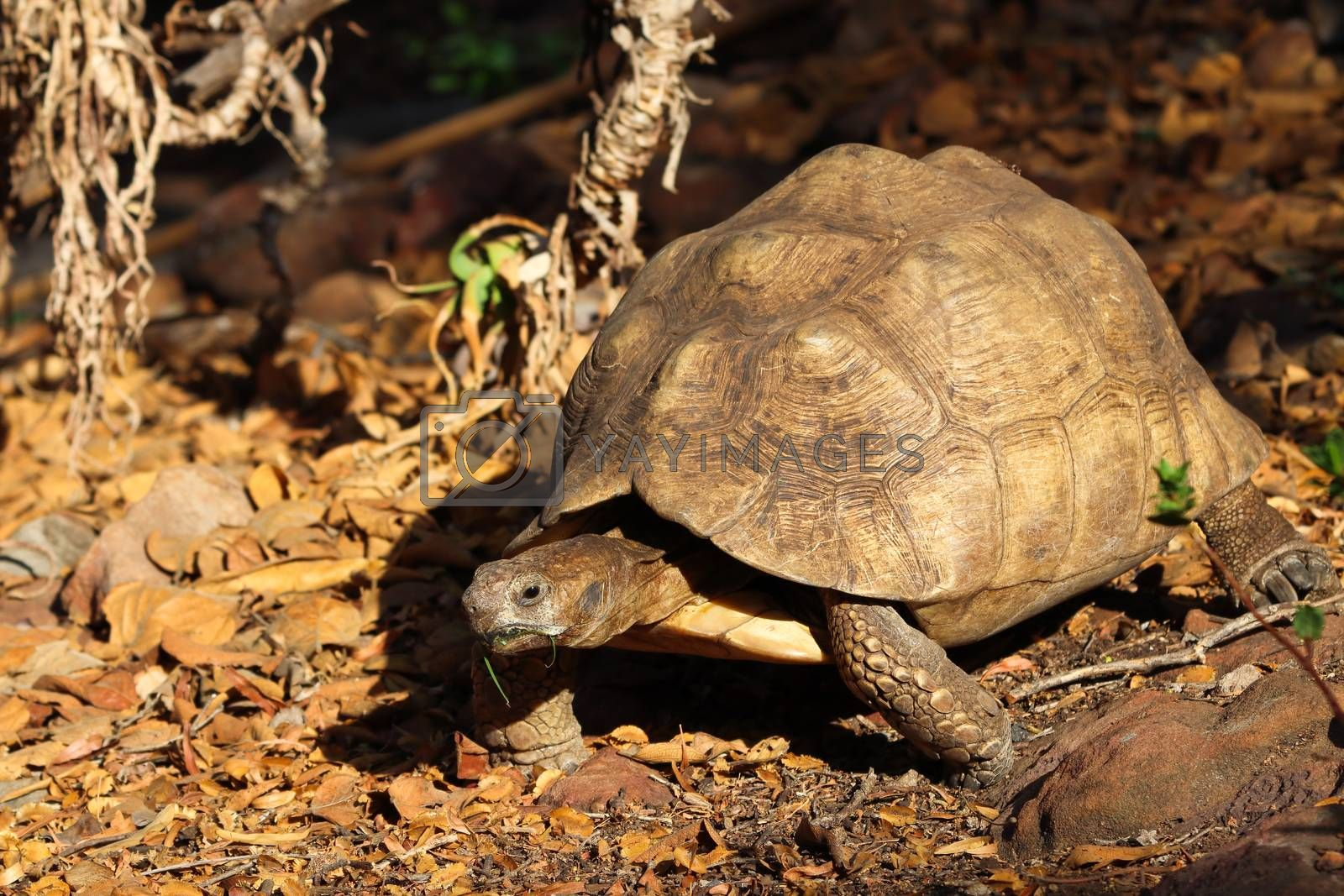 An aged old leopard tortoise (Stigmochelys pardalis) in natural African habitat during autumn, Pretoria, South Africa