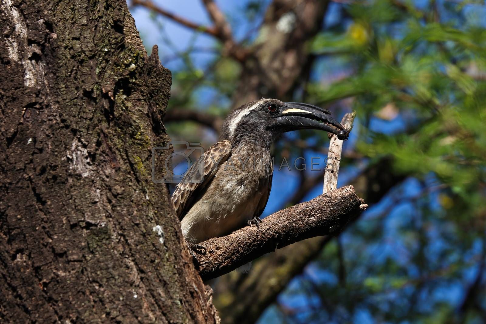 An African grey hornbill bird (Lophoceros nasutus) with caught insect to give to his partner in a nearby hidden nest, Pretoria, South Africa