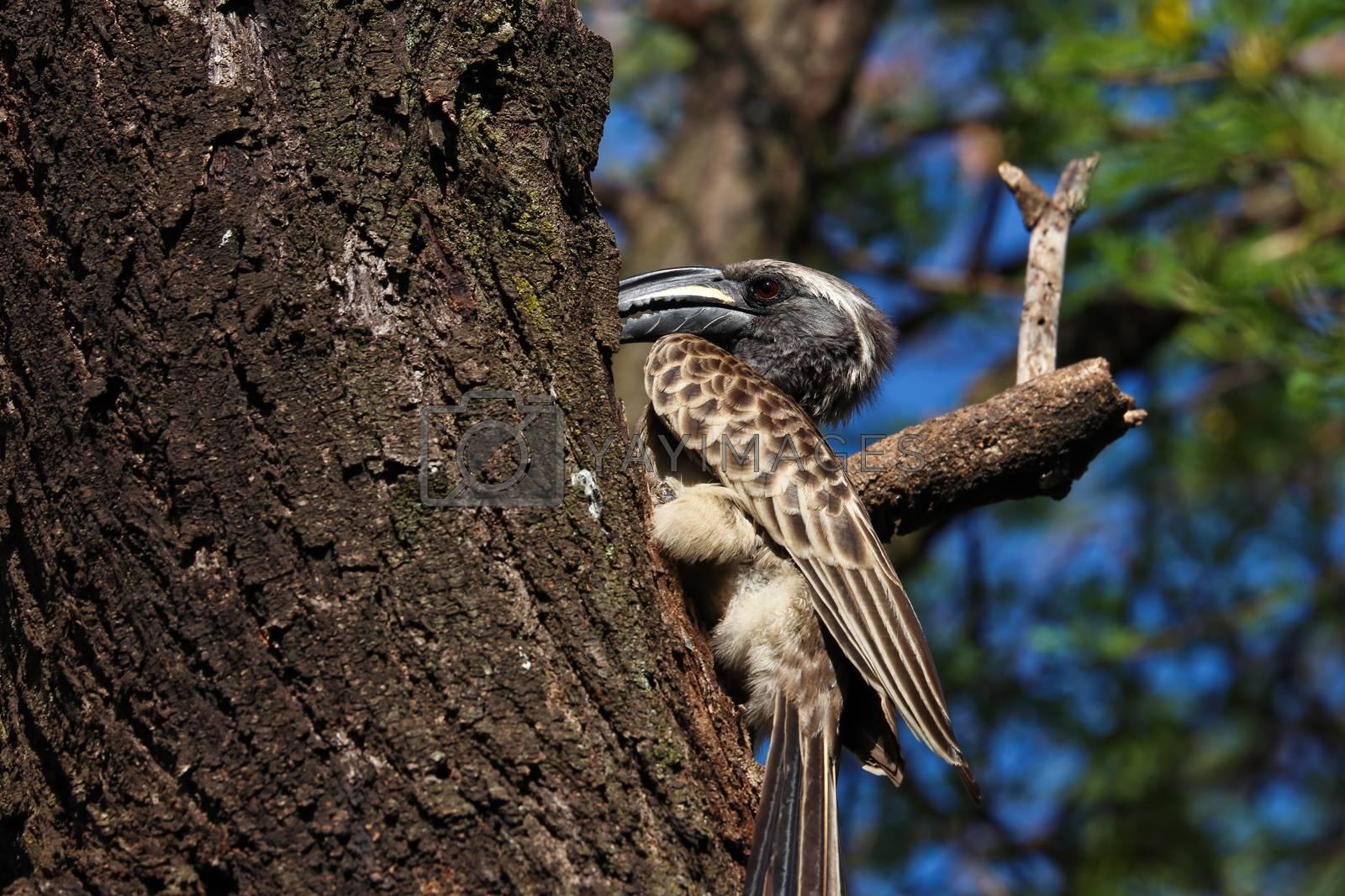 An African grey hornbill bird (Lophoceros nasutus) feeding his breeding partner in a hidden nest, Pretoria, South Africa