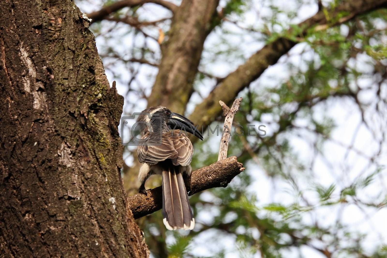 A male African grey hornbill bird (Lophoceros nasutus) perching on thorn tree branch near a hidden tree trunk nest, Pretoria, South Africa