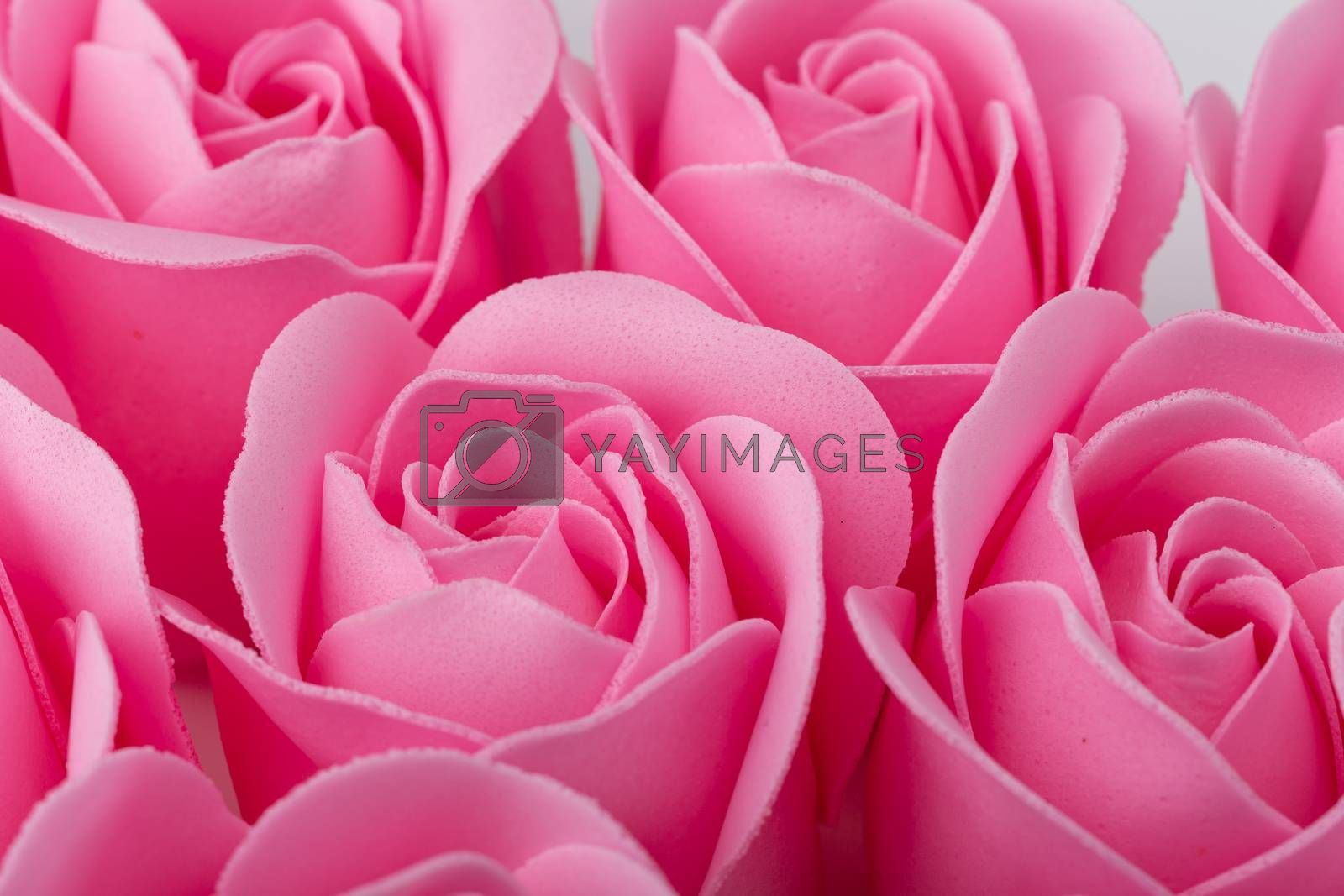 Pink rose blossom isolated on white background. Top View.