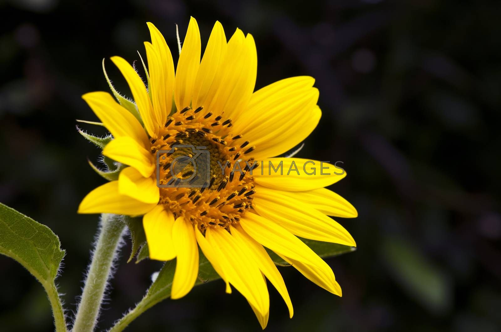 single sunflower against a dark background