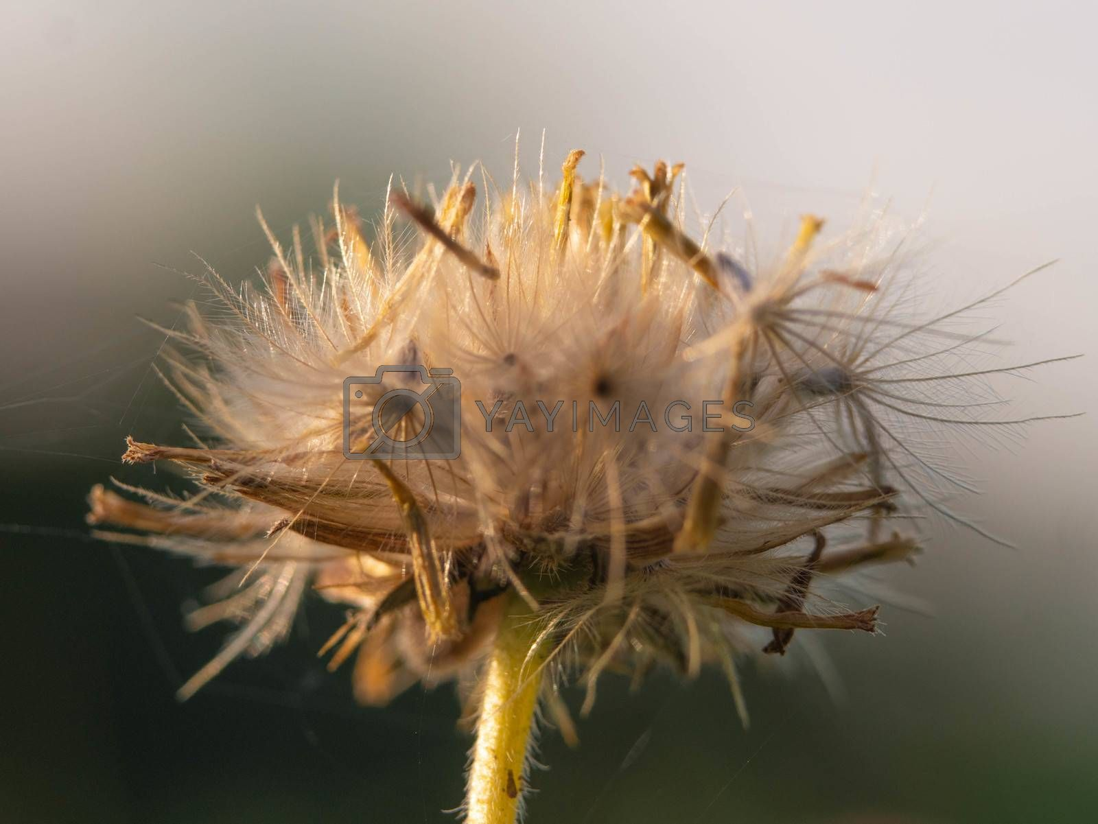 Close-up of dandelion blowing in the wind on nature background.