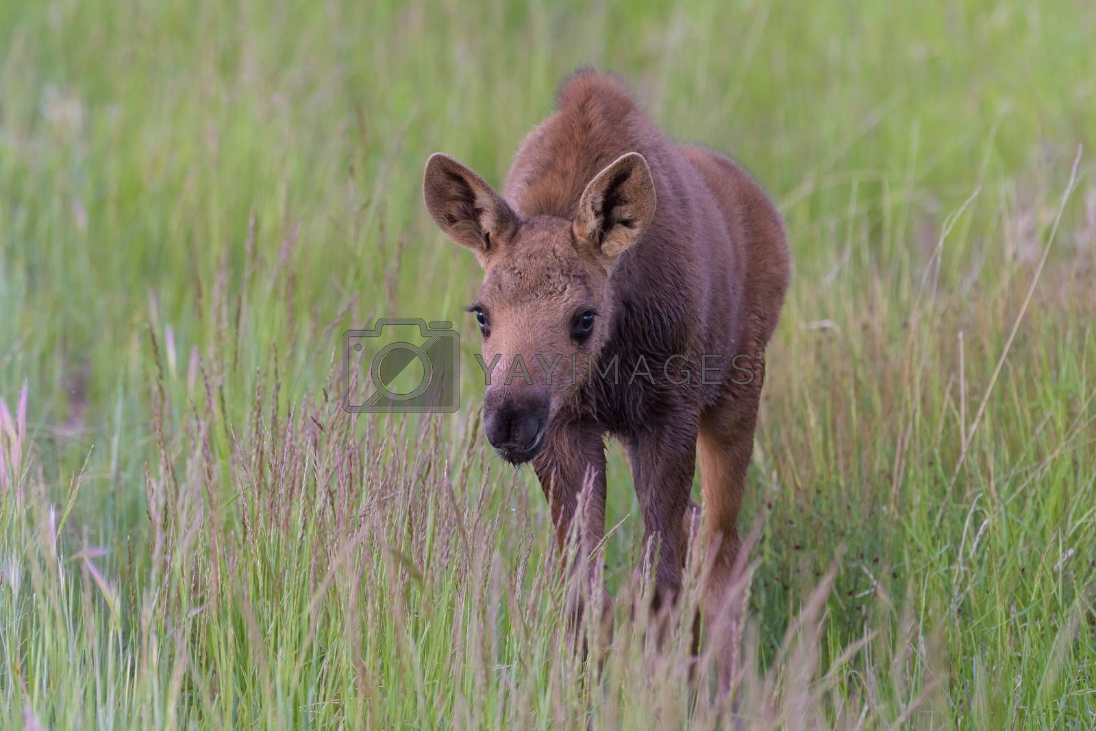 Moose Calf in Tall Grass. Shiras Moose in Colorado. Shiras are t by Gary Gray