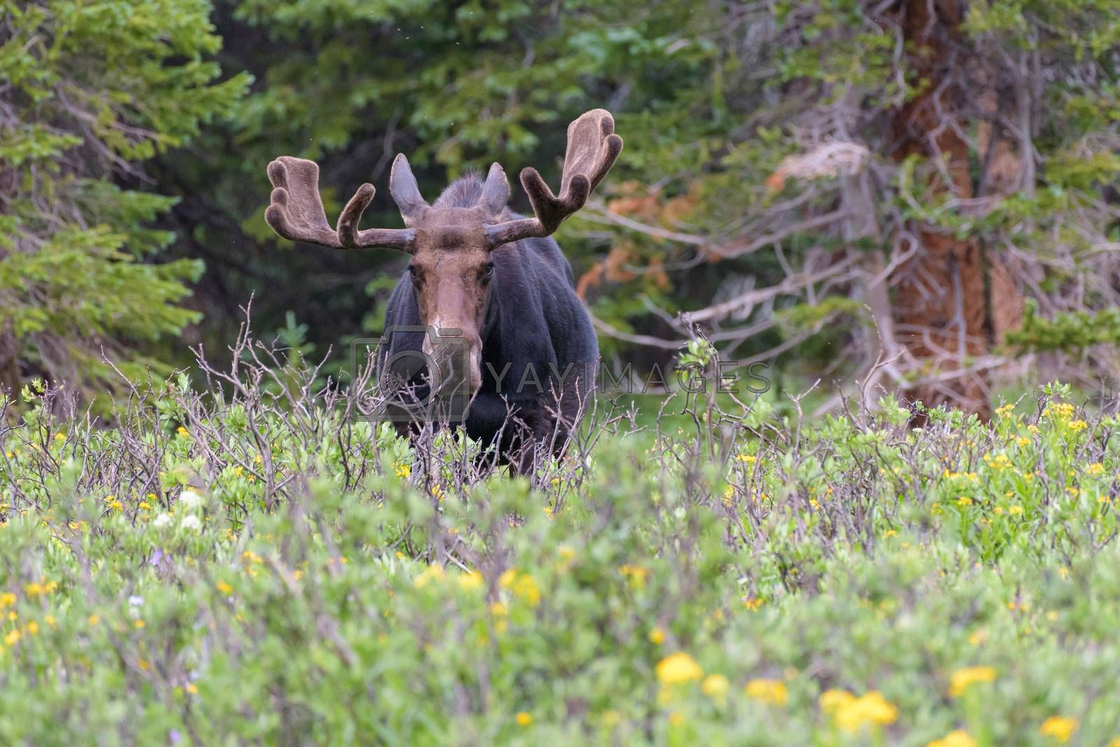 Shiras Moose in Colorado. Shiras are the smallest species of Moo by Gary Gray