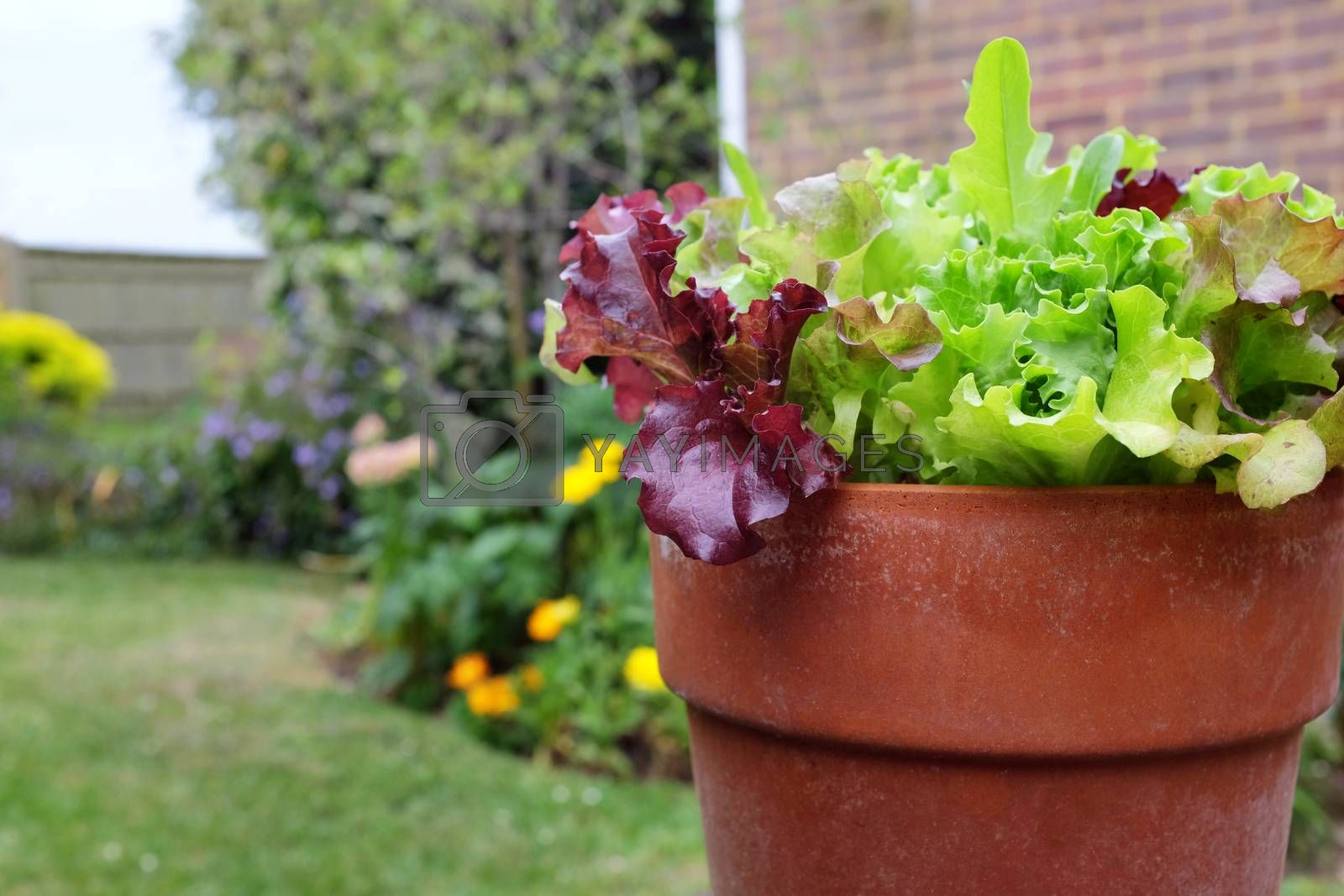 Mixed red and green salad leaves growing in a terracotta flower pot, in selective focus against a colourful garden