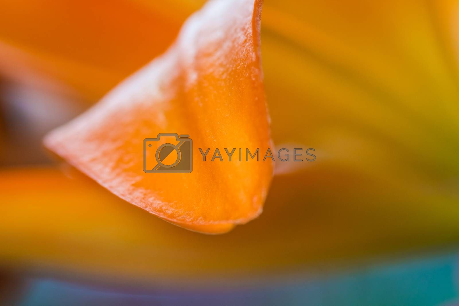 Lily. Close-up of an orange Lily flower. Macro horizontal