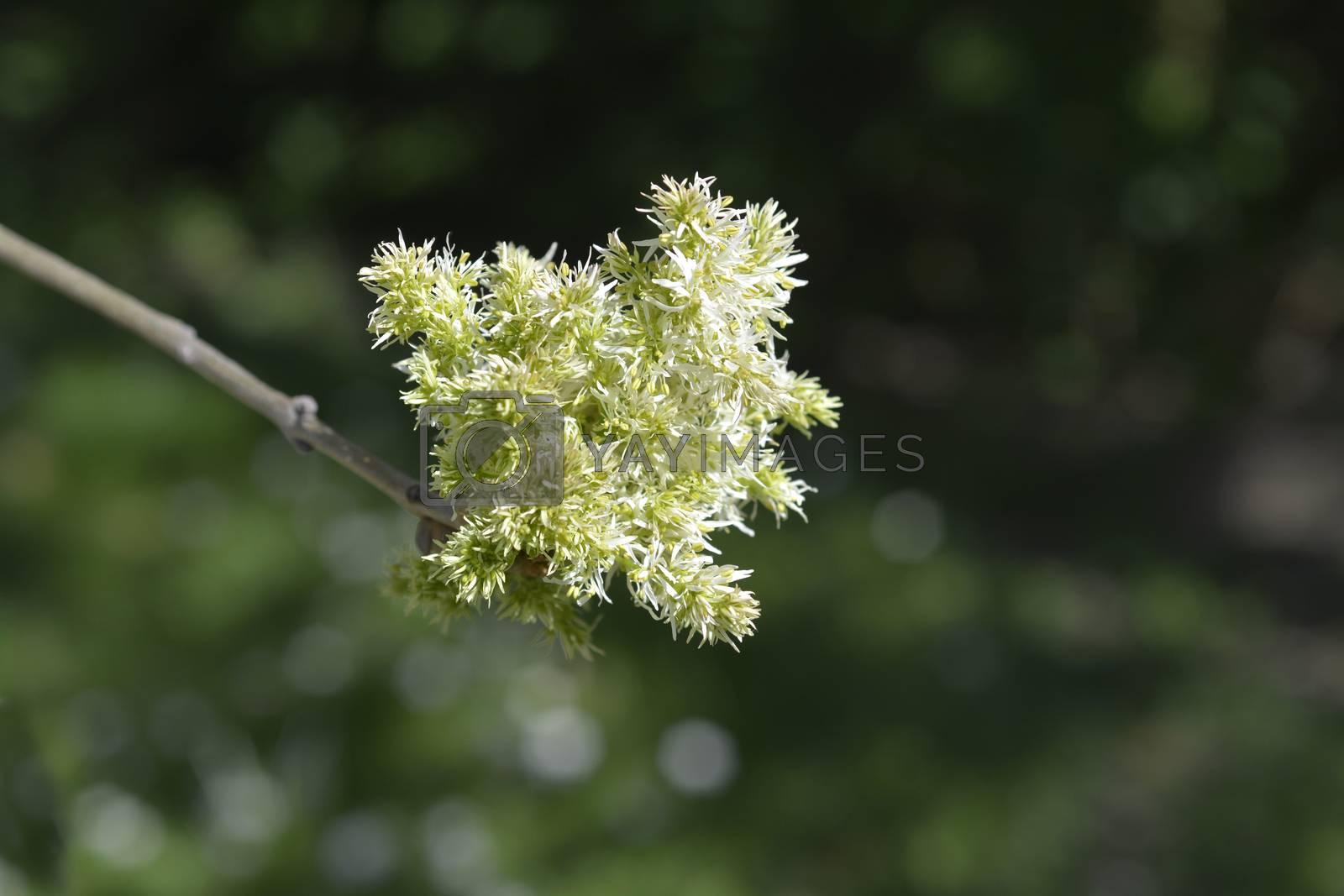 Flowering ash - Latin name - Fraxinus ornus