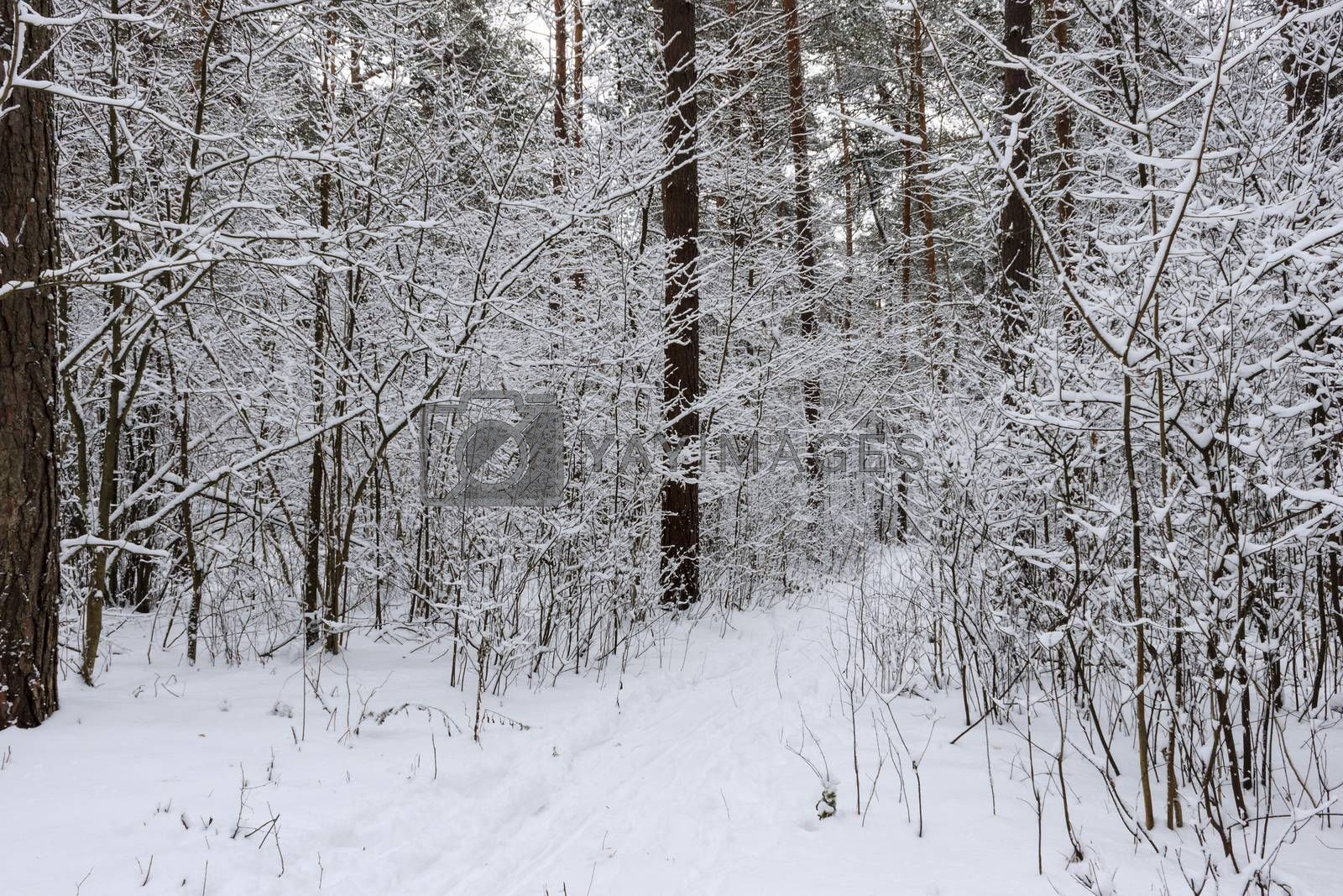 Pine forest covered with snow at winter