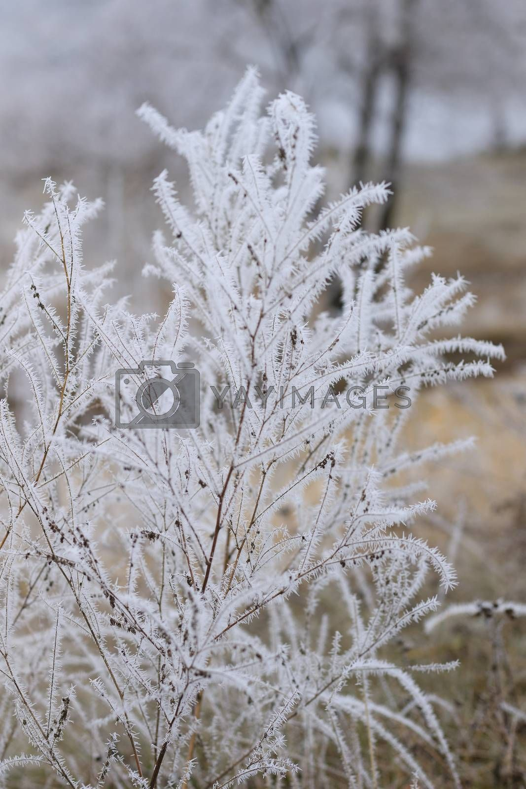 branch covered with frost at November