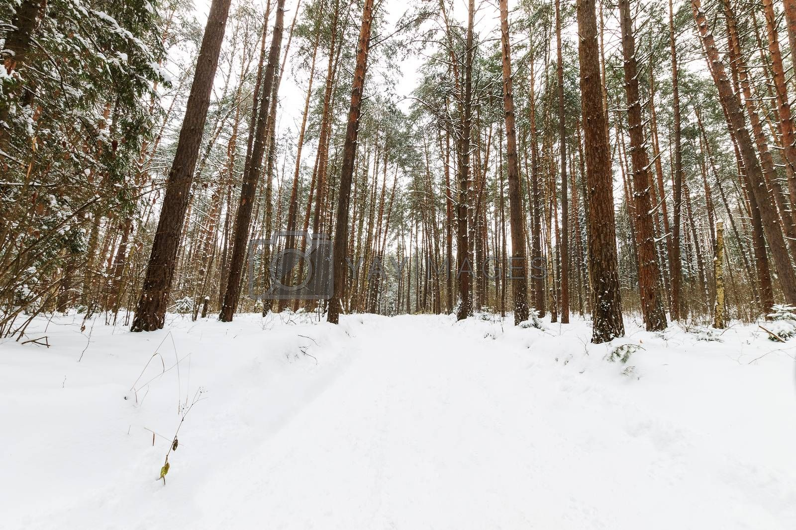 Landscape of winter pine forest covered with frost at mainly cloudly weather. First snow at autumn season.