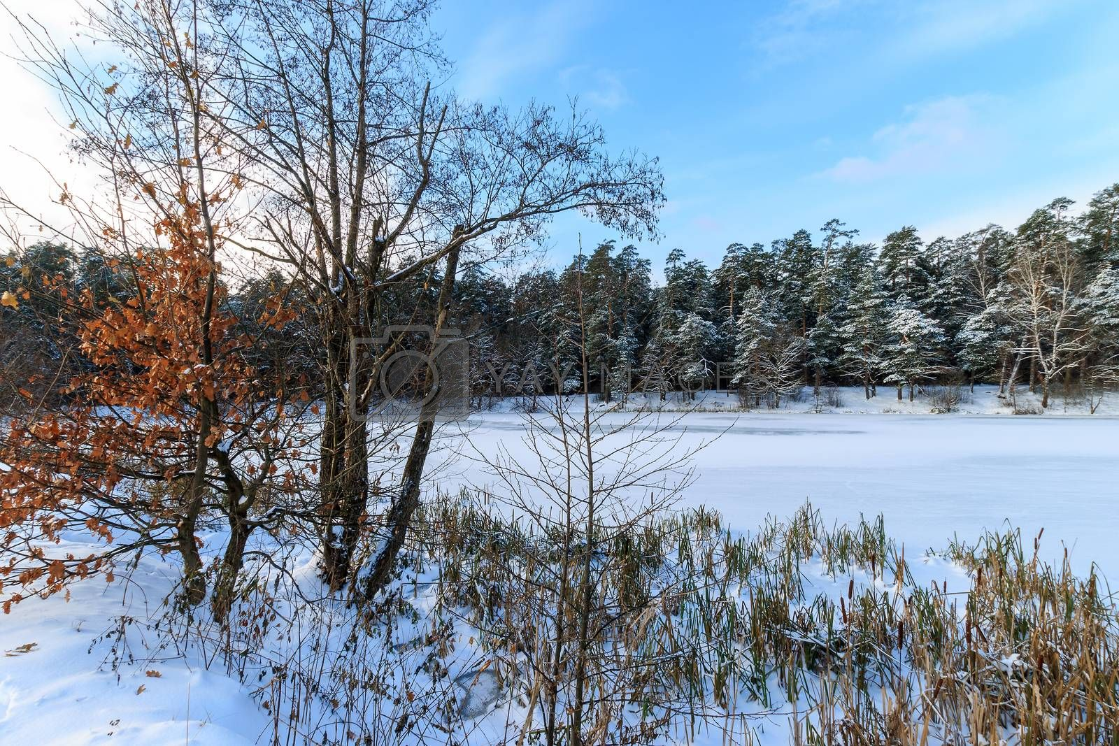 Pond covered with frost at pine forest at winter season. Snow landscape at sunny day.
