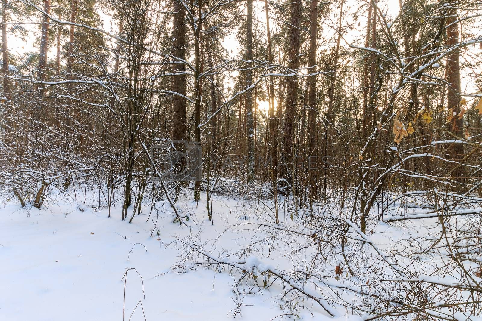 Landscape of winter pine forest covered with frost at sunny weather. First snow at autumn season.