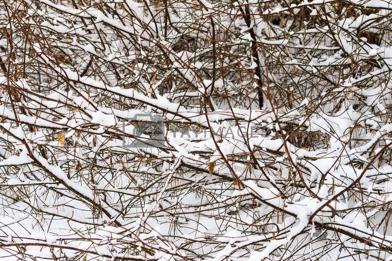 Branches covered with frost at winter season at pine forest. First snow at autumn.