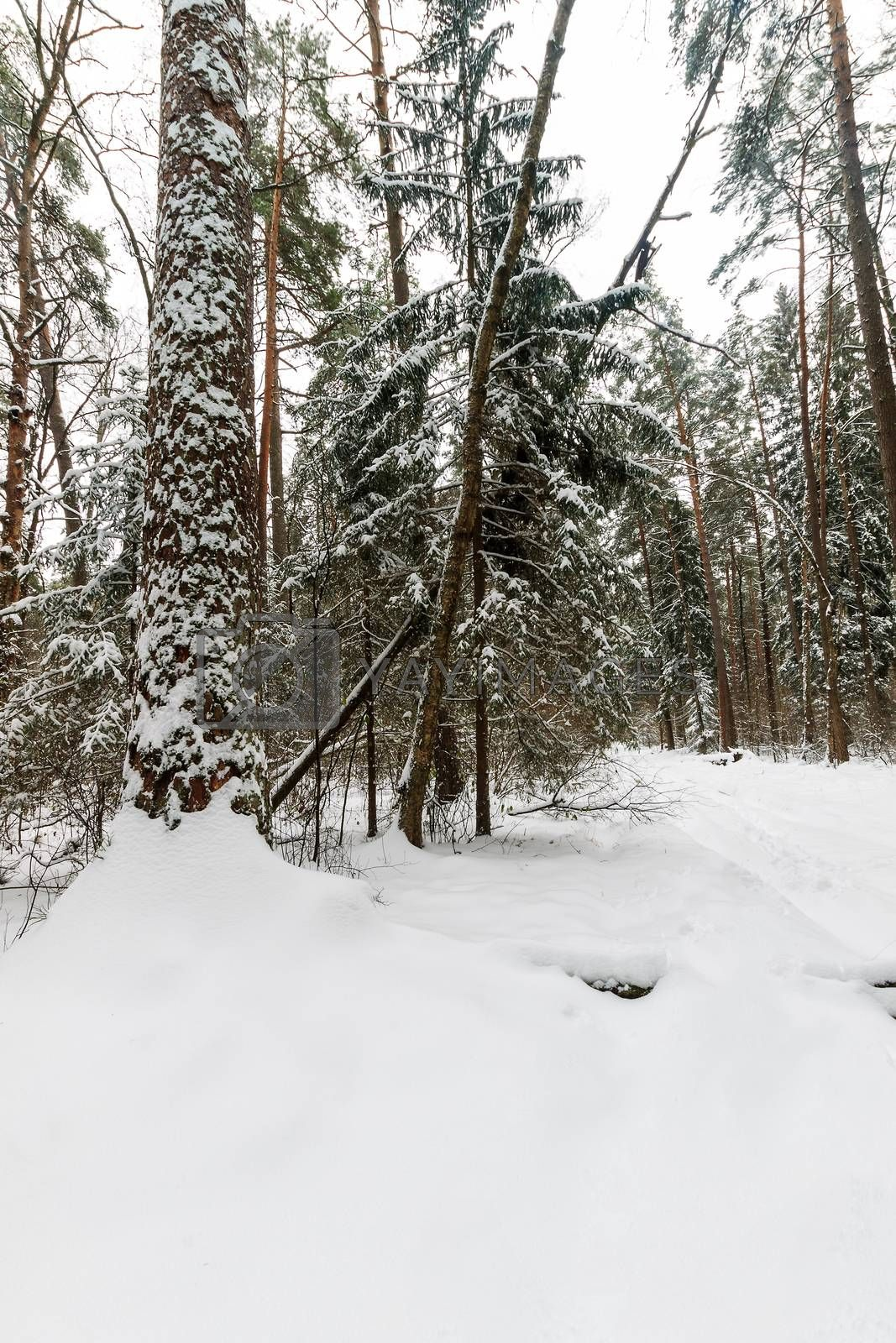Landscape of winter pine and spruce forest covered with frost at mainly cloudly weather. First snow at autumn season.