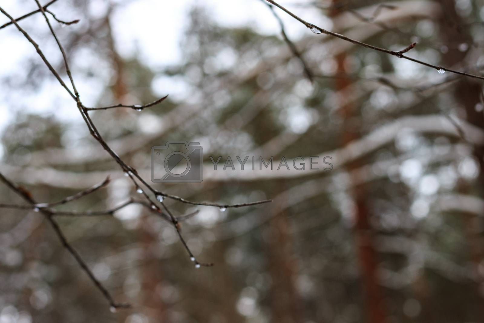 branch with frozen drops at winter season