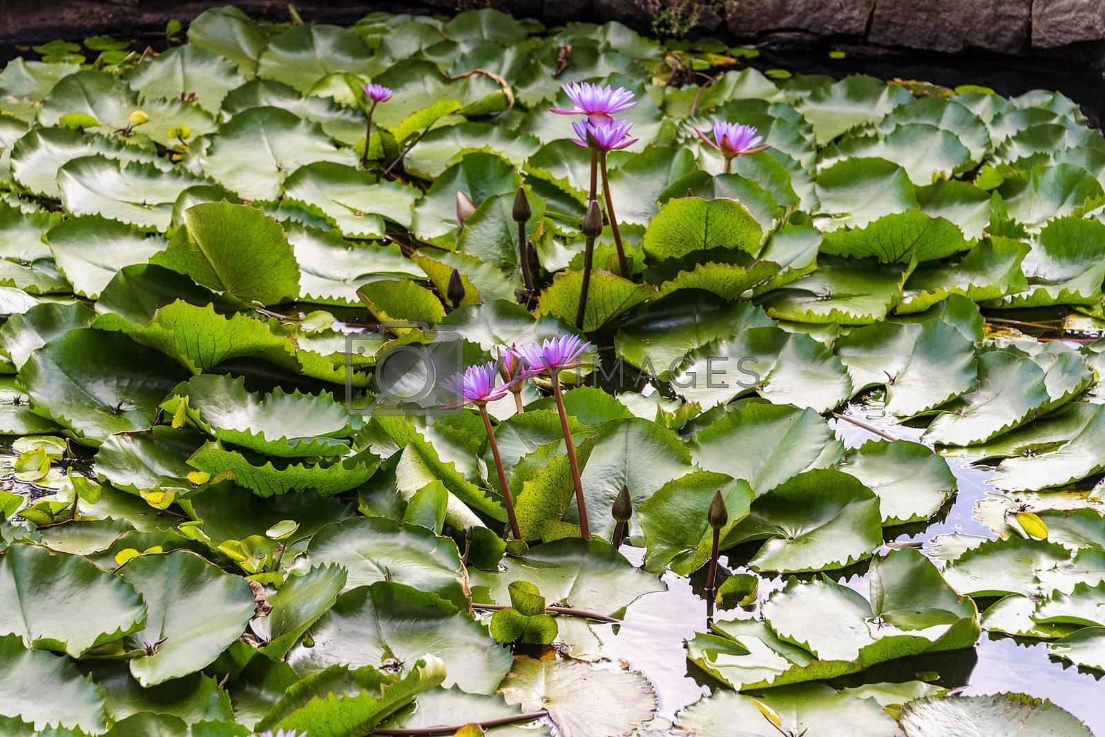 Dambulla, Sr Lanka, Aug 2015: Lotus flowers blooming in a pool