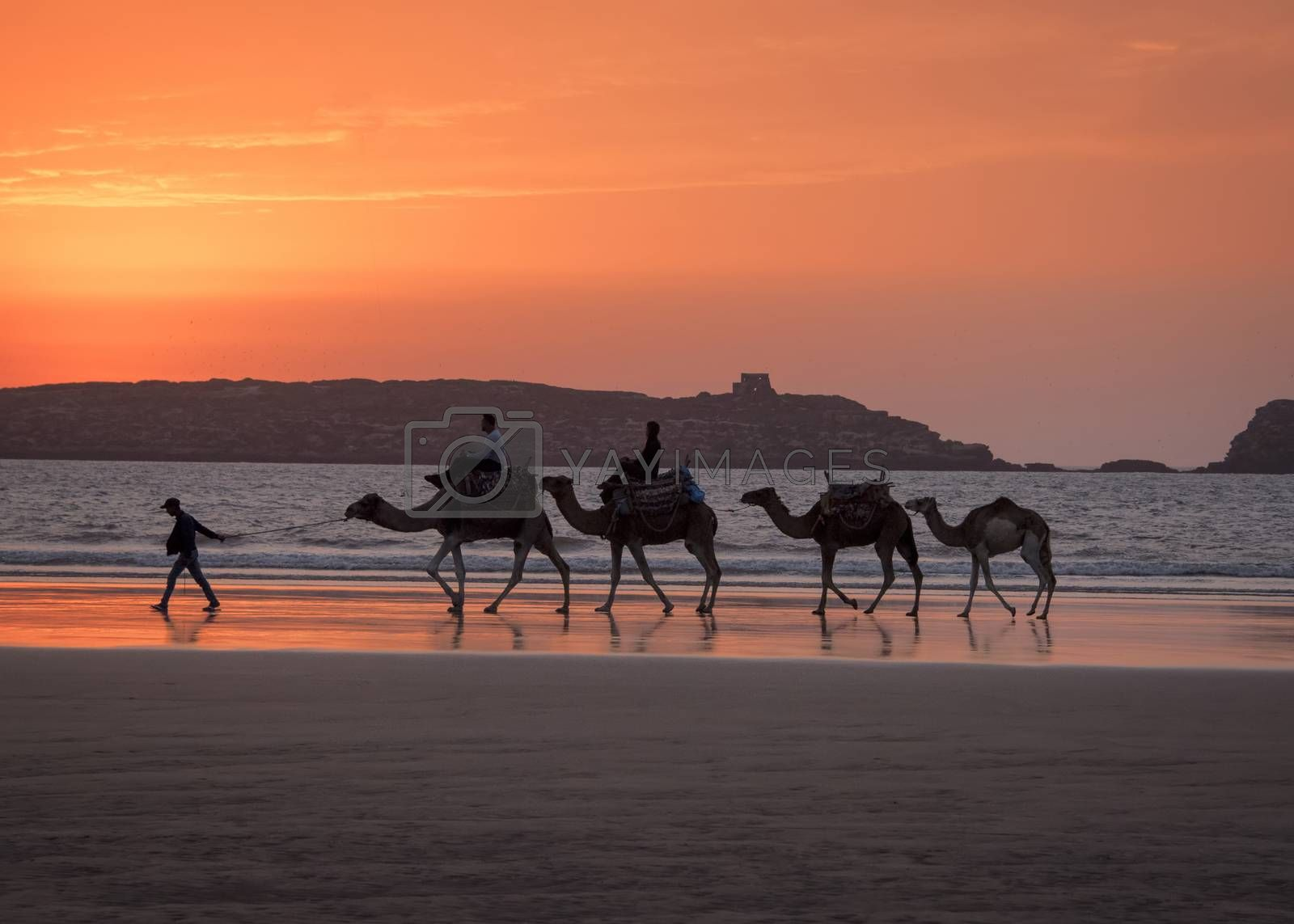 Essaouria, Morocco - September 2017: Camel train for the tourists being led along the beach at Sunset