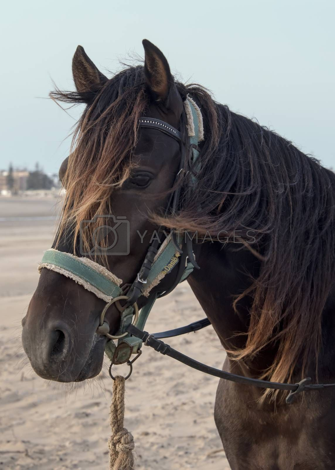 Essaouria, Morocco - September 2017: Horse in a blue harnesses stood waiting on the beach, closeup