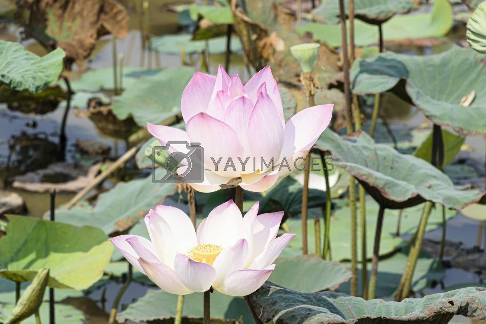 Cambodia, Tonle Sap - March 2016: Lotus flowers in bloom