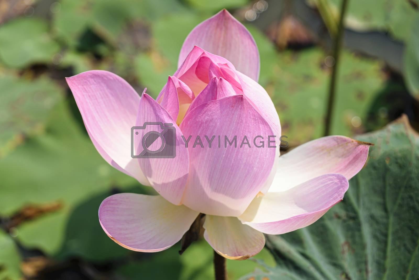 Cambodia, Tonle Sap - March 2016: Single lotus flower