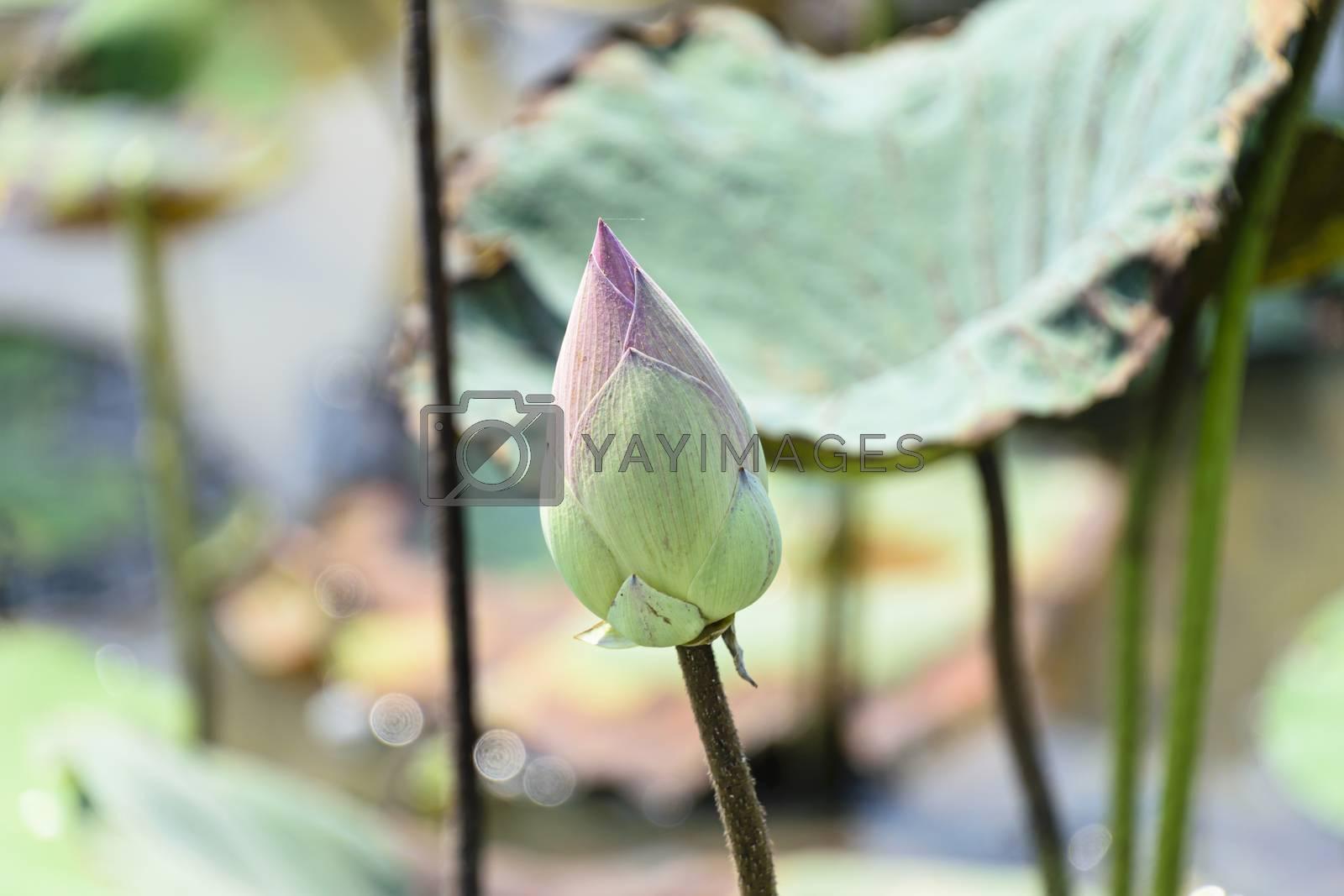Cambodia, Tonle Sap - March 2016: Single lotus flower bud