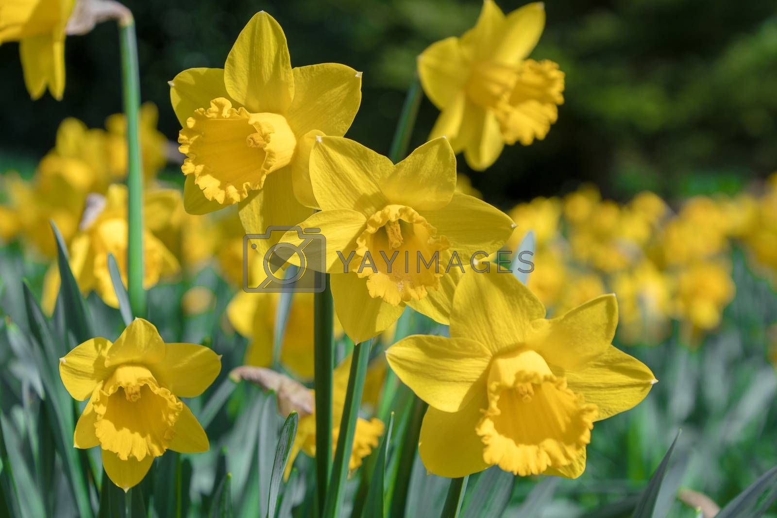 Yellow daffodils growing in a field