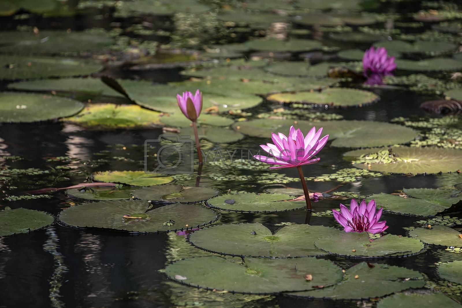 Sir Lanka, Sigyriya: Lotus flower blooming in a reflective pool