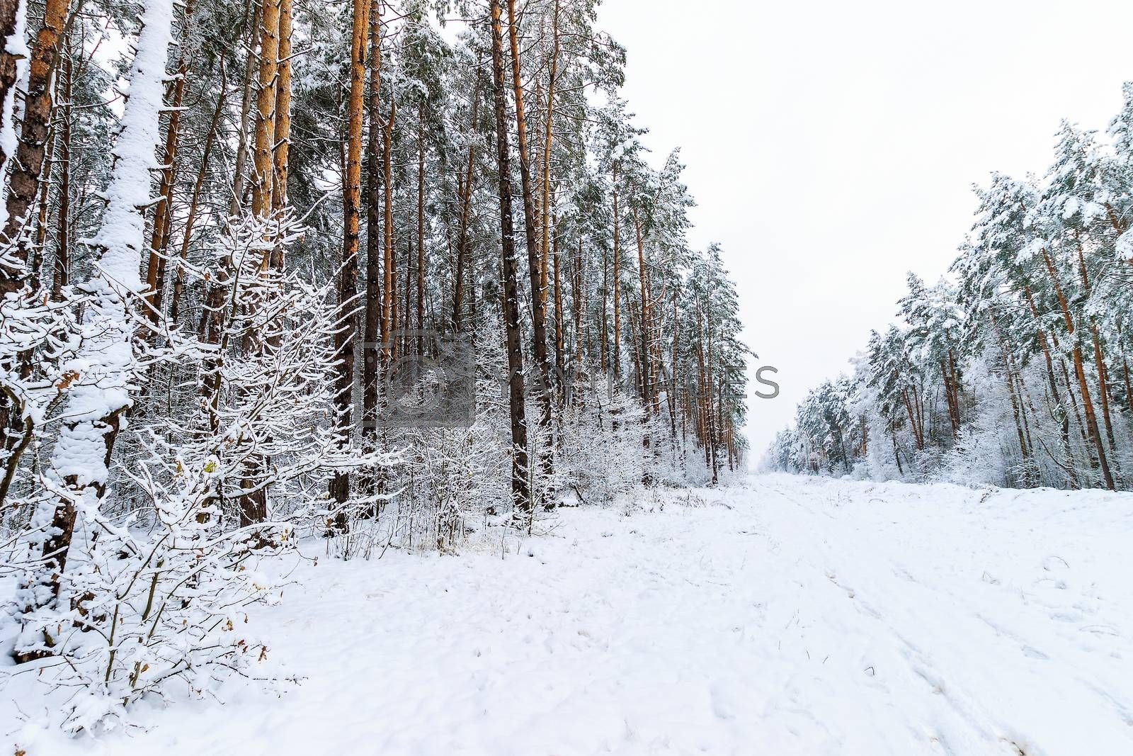 Landscape of winter pine forest covered with frost at mainly cloudy weather. First snow at autumn season.