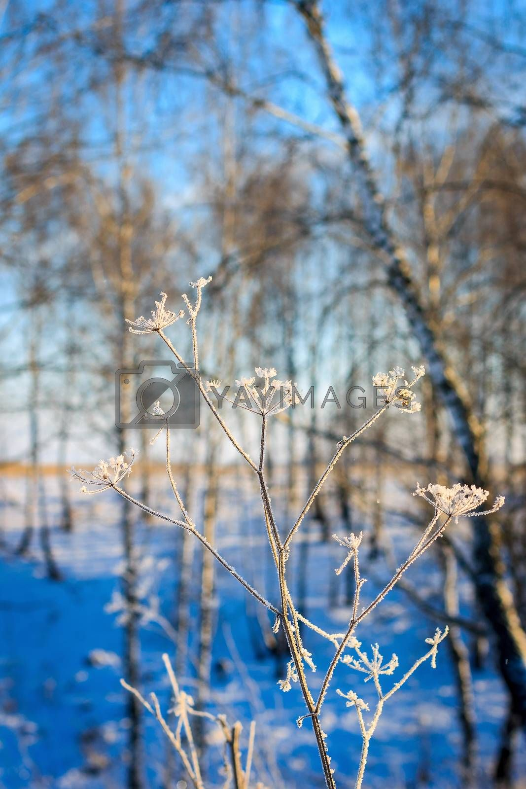 Branches covered with frost at winter season at sunny day