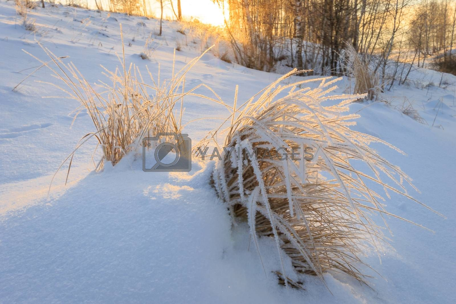 Branches covered with frost at winter season at sunset. Field in snow.