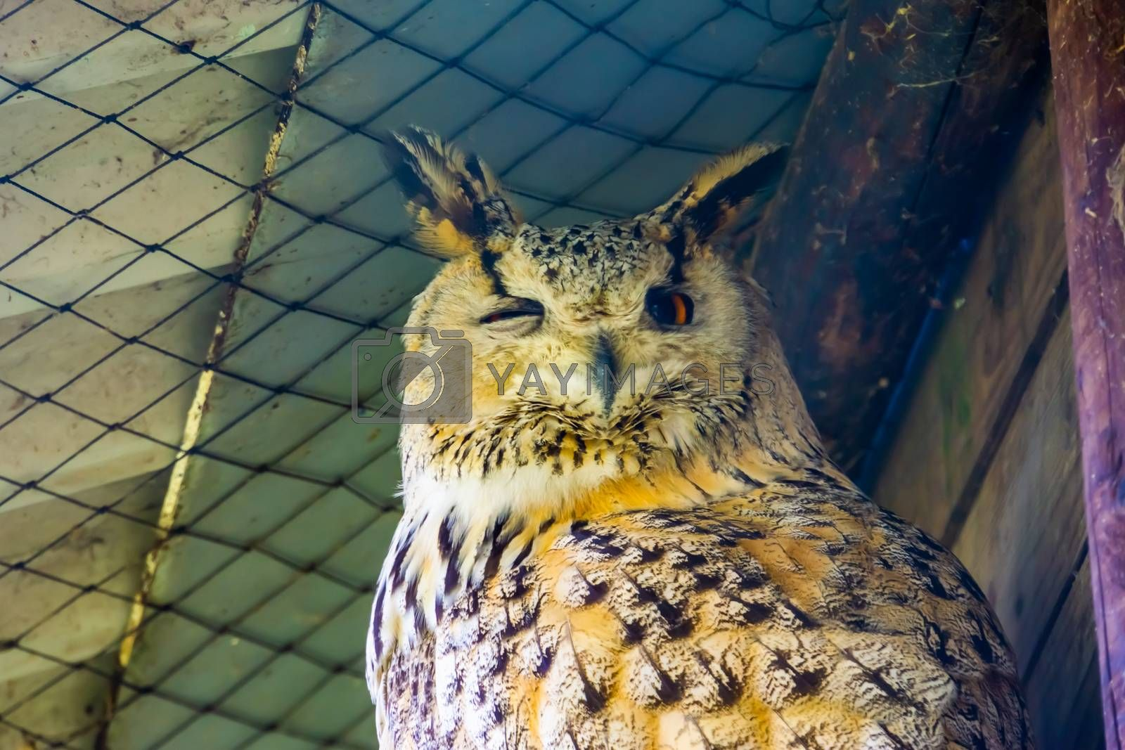 closeup of the face of a siberian eagle owl, popular owl specie from Siberia