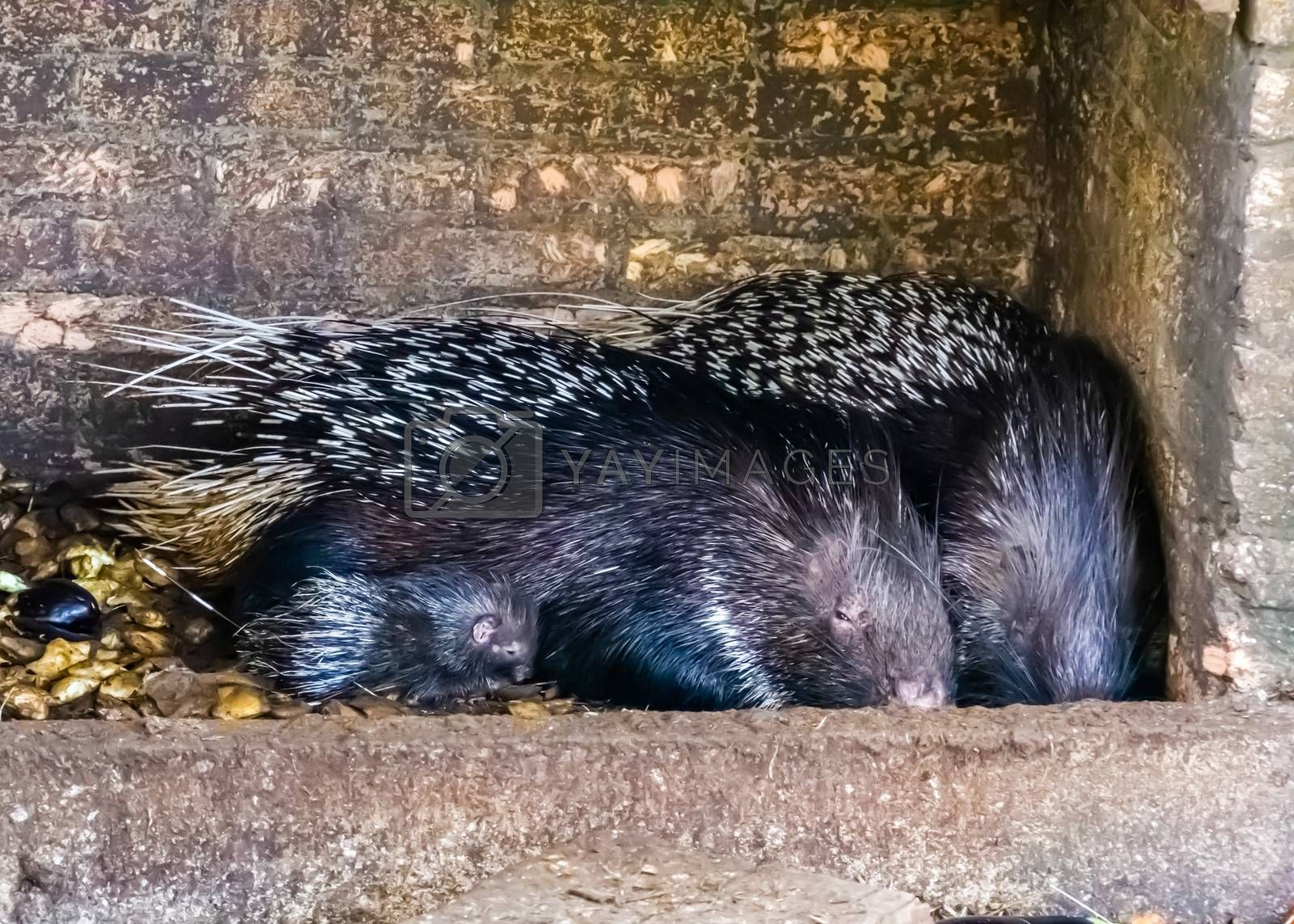 family portrait of a crested porcupine couple with a juvenile, tropical animal specie from Africa