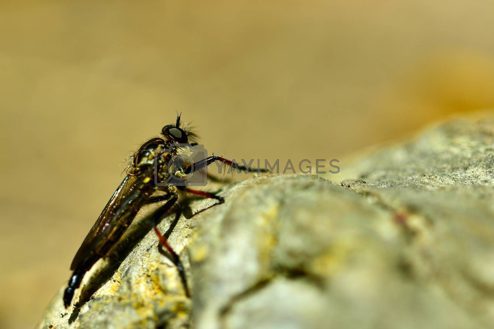 """The name """"robber flies"""" reflects their notoriously aggressive predatory habits; they feed mainly or exclusively on other insects and as a rule they wait in ambush and catch their prey in flight obtaining sufficient nourishment."""