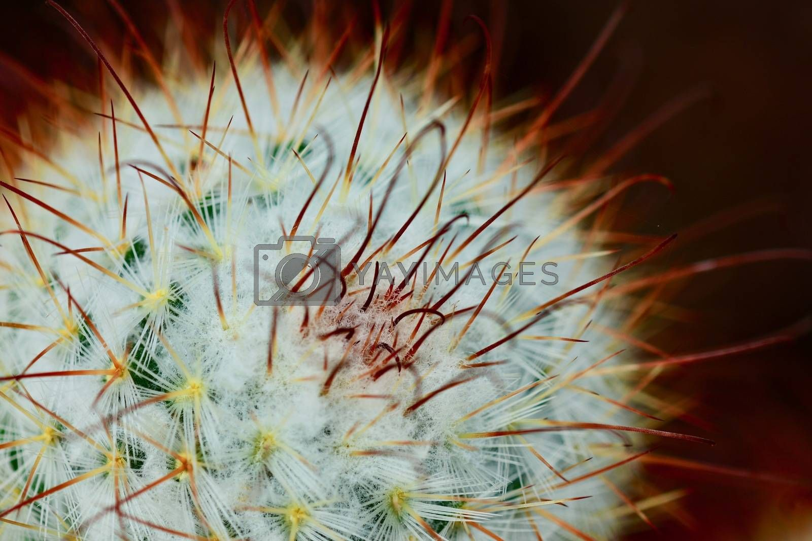 Cacti produce spines, always from areoles, which are structures unique to cacti. Areoles typically appear as woolly or hairy areas on the stems from which spines emerge.