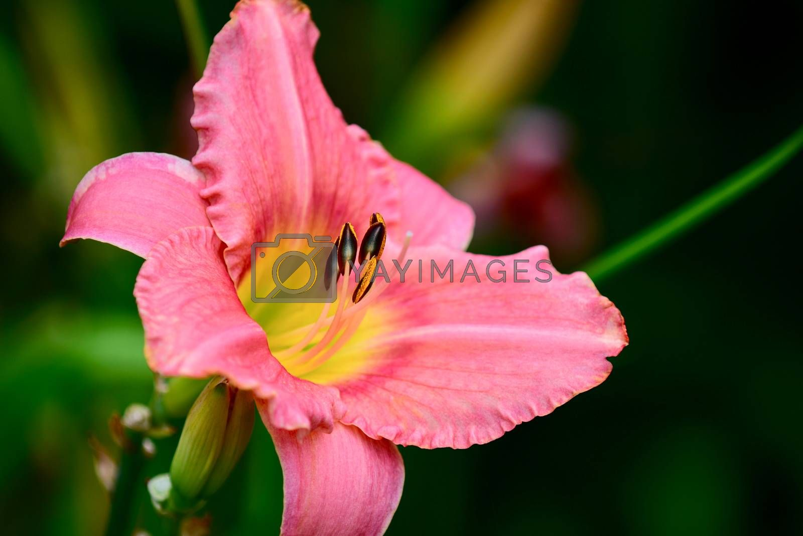 The daylily is a flowering plant in the genus Hemerocallis, a member of the family Asphodelaceae, subfamily Hemerocallidoideae. Despite the common name, it is not in fact a lily. Gardening enthusiasts and professional horticulturalists have long bred daylily species for their attractive flowers.