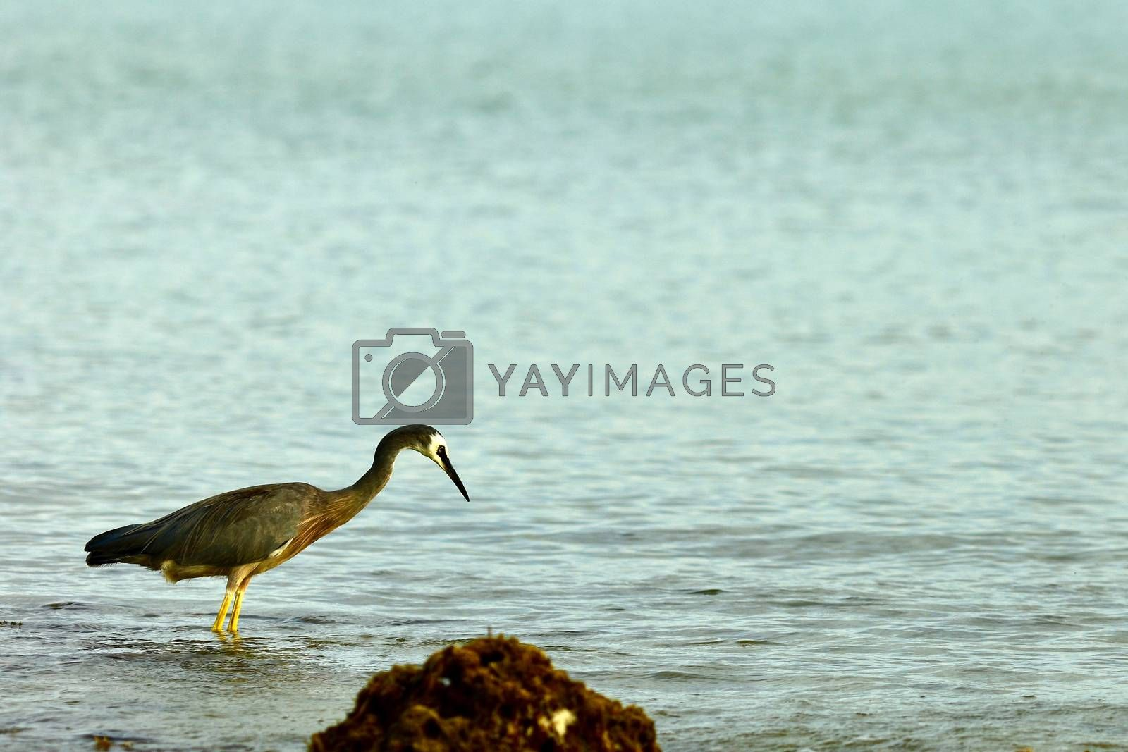 White-faced heron is a common bird throughout most of Australasia, including New Guinea, the islands of Torres Strait, Indonesia, New Zealand, and all but the driest areas of Australia.