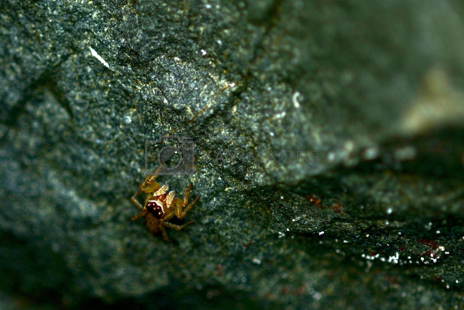 Jumping spiders are generallydiurnal, active hunters.