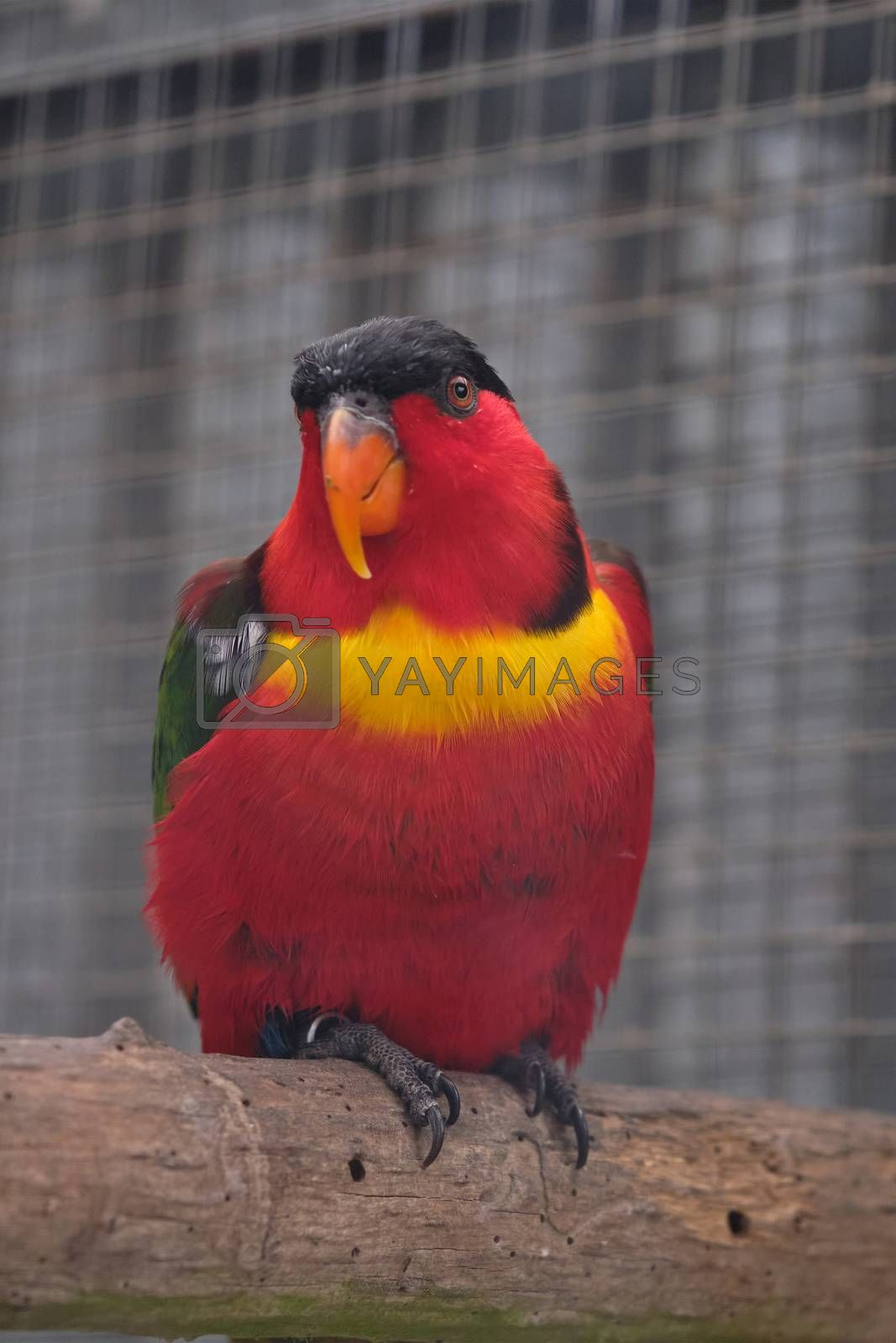 A colourful red bird, a womans Lorikeet, is sitting on a branch.